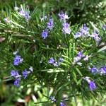 Sering Mencium Aroma Rosemary Ternyata Mampu Meningkatkan Ingatan Kita